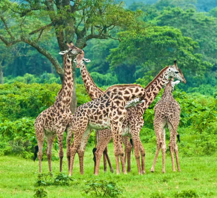 Win flight to Kilimanjaro Airport, hotel stay, safari in Arusha NP, etc.