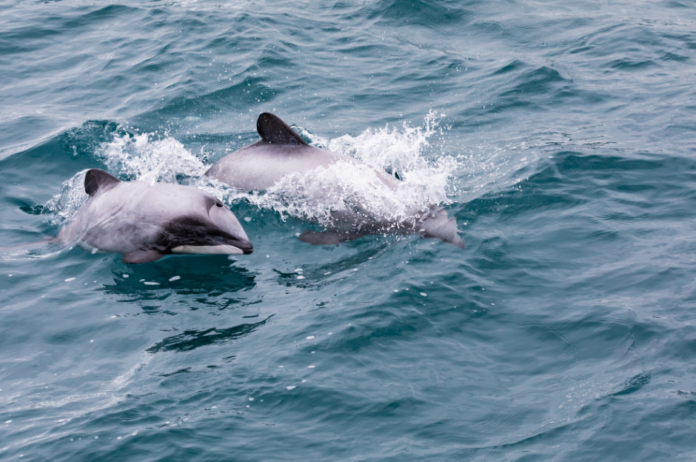Hector's Dolphins are found only in the shallow coastal waters along the western shores of New Zealand's North Island. Find out how to swim with them