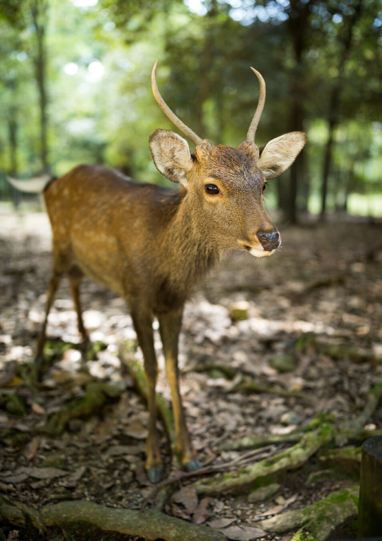 A picture of a roe deer. See this & other animals on a wildlife safari from Stockholm, Sweden