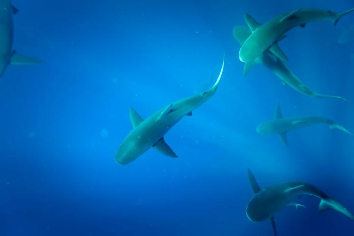 Oahu Shark Dive Experience