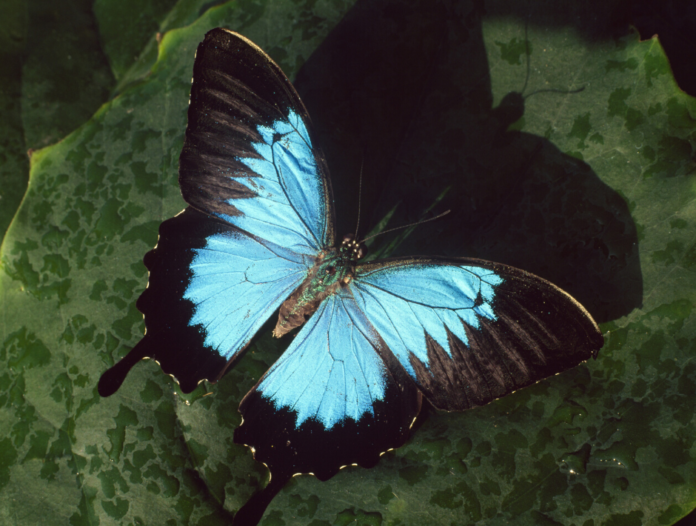 A picture of the Ulysses Butterfly which you can see at the Australian Butterfly Sanctuary