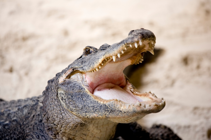 Coupon for Hartley's Crocodile Adventures Park in Cairns, Australia