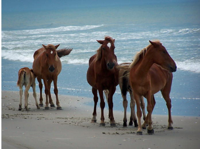 See the Banker horses on Corolla Island on a 2 hour Wild Horses Tour in North Carolina OBX