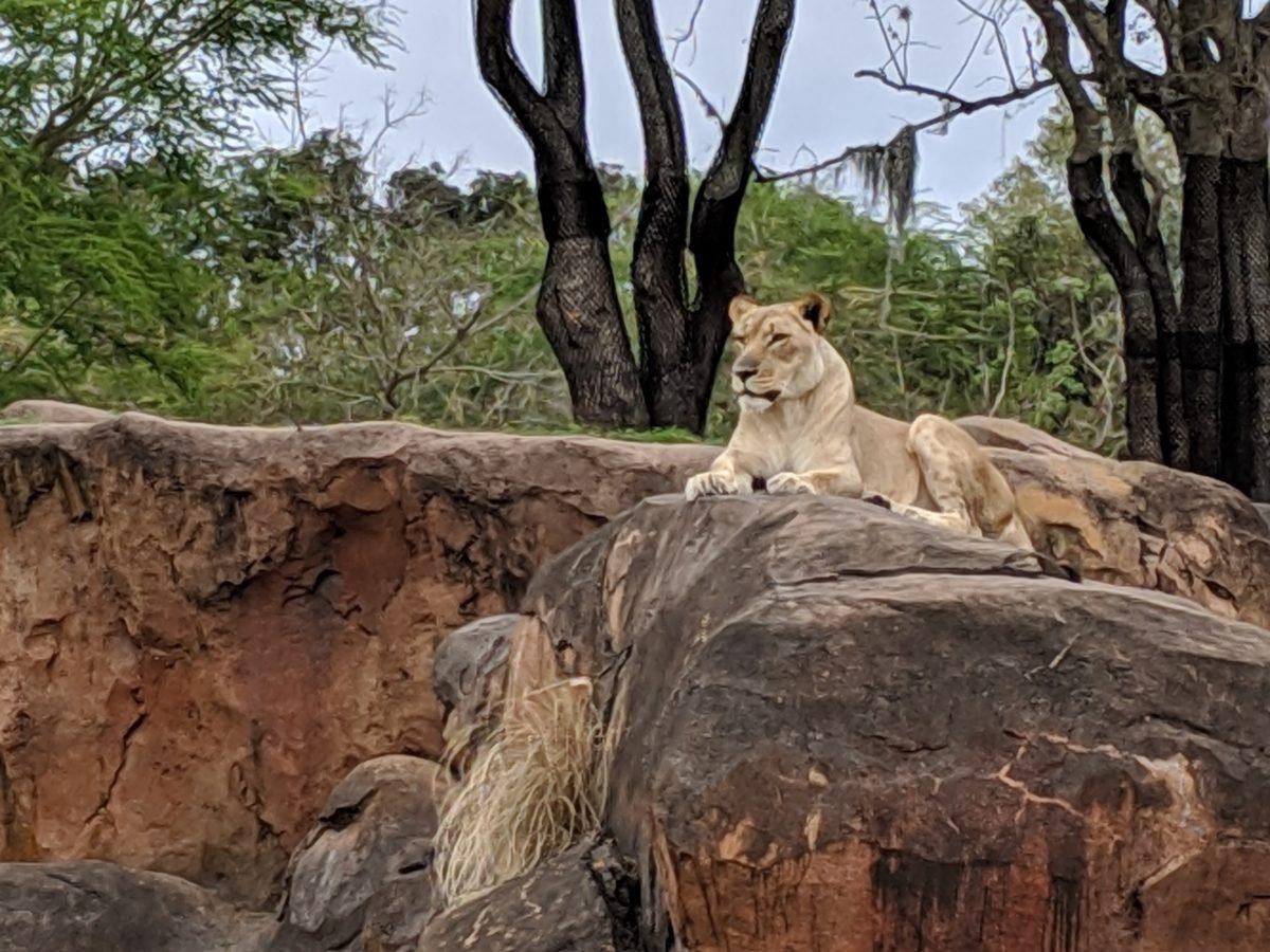 Animal Kingdom at Walt Disney World Resort in Orlando, Florida has safaris with real lions