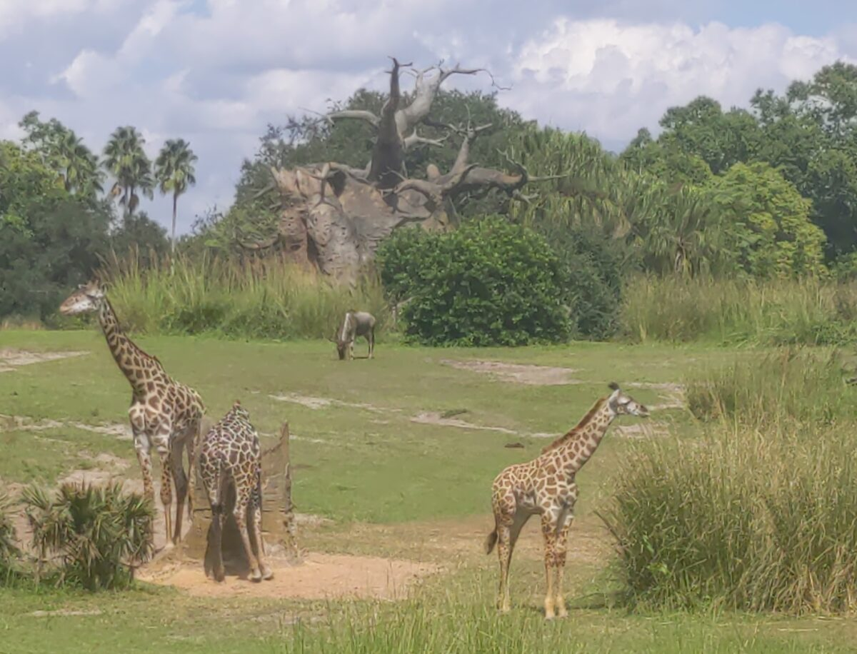 Giraffes as part of the Kilimanjaro Safaris ride at Disney's Animal Kingdom Park in Orlando