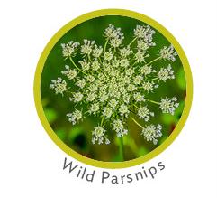 Wild Parsnips