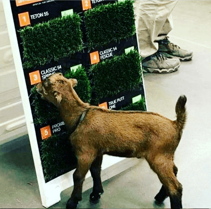 Lawn Care Meme  This baby goat eating the display of turf grass types is adorable, and supper relatable. That grass looks so tasty!