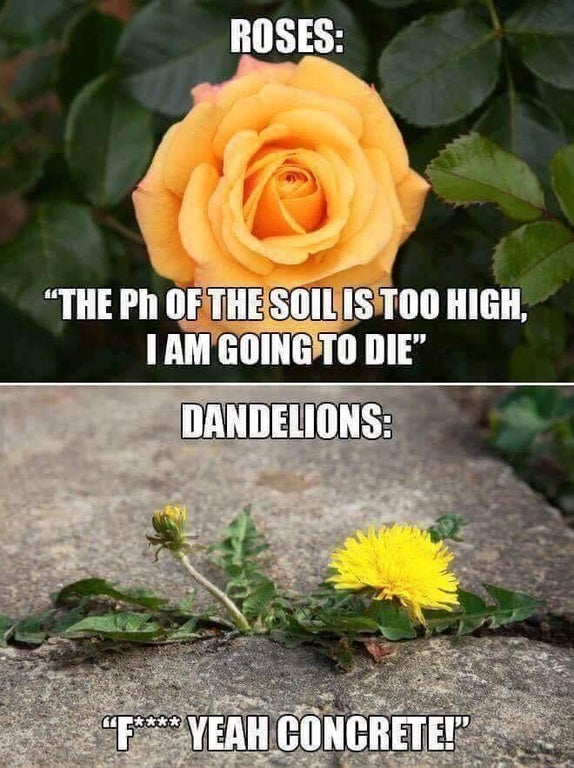 Landscaping Meme  It's true, dandelions can grow anywhere, and nobody wants them. And Roses are a pain (literally at times) to grow, making this meme very relatable. Thanks