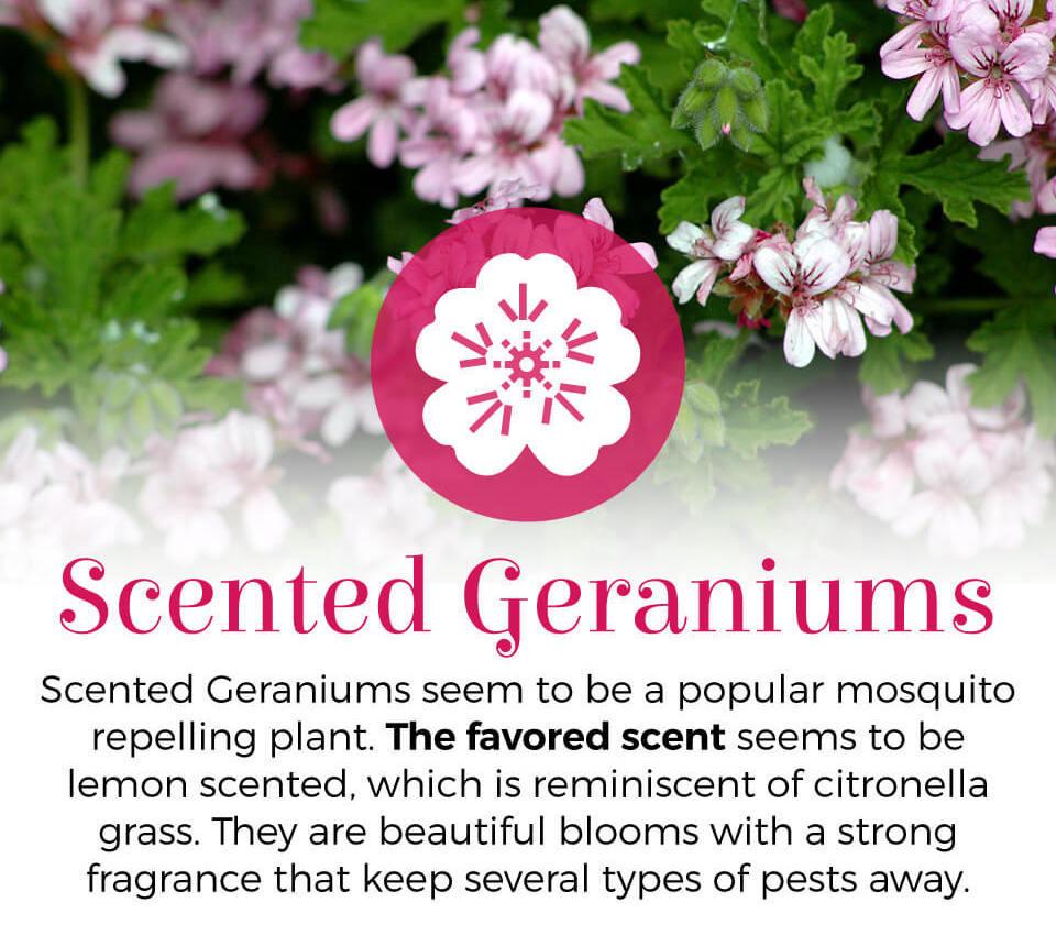 Scented geraniums