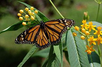 350px monarch butterfly danaus plexippus on milkweed hybrid 2800px %281%29