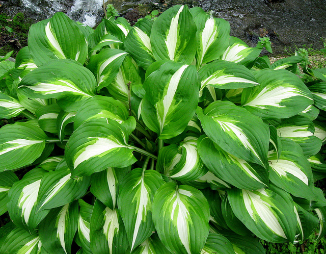 Hosta Plant GreenPal Lawn Care