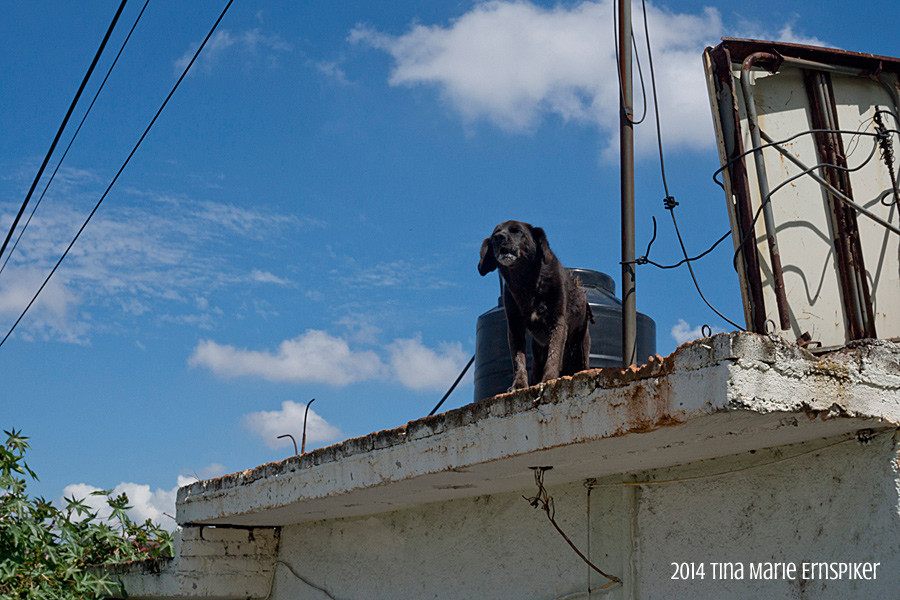 Roof dog in Morelia