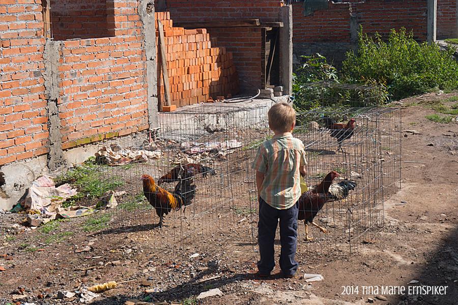 Chickens in Morelia