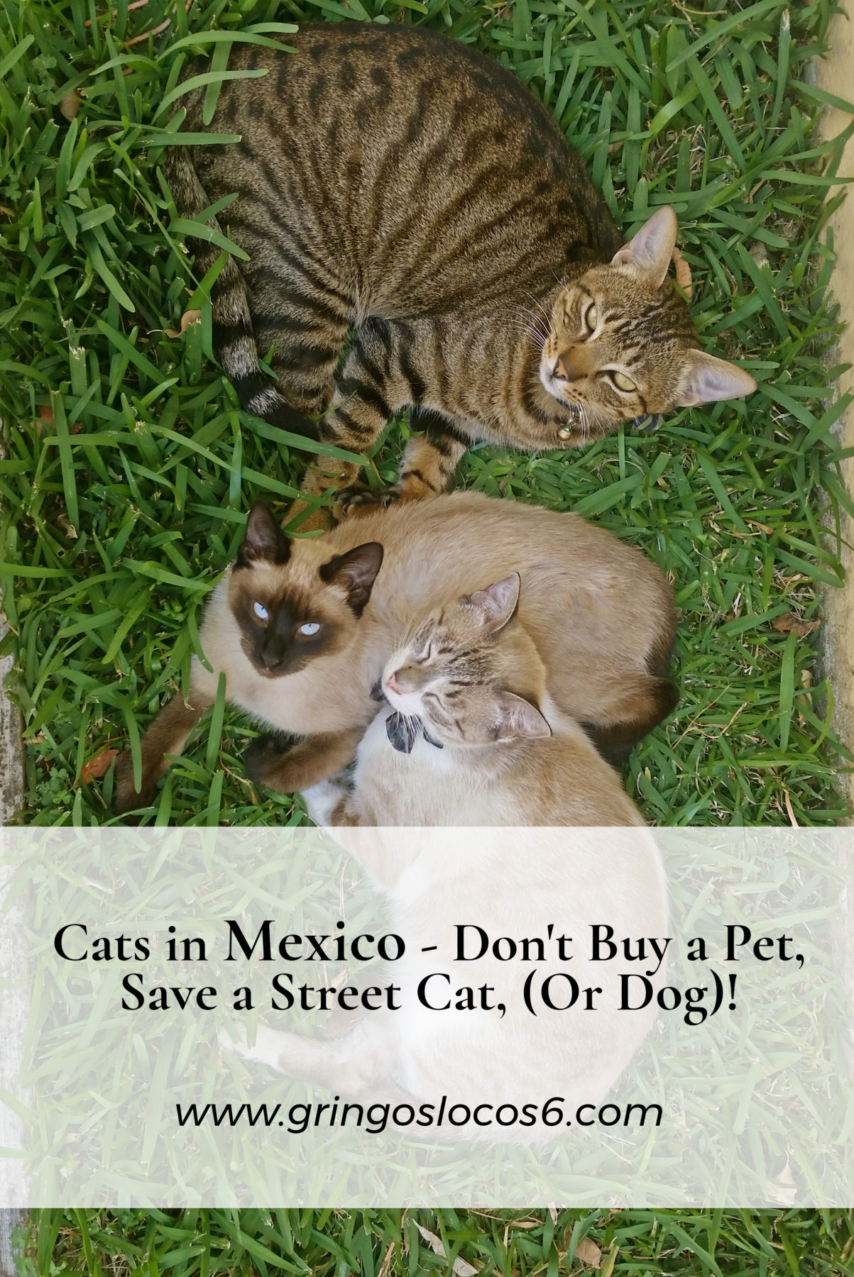 Cats in Mexico - Don't Buy a Pet, Save a Street Cat, (Or Dog)