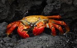 6923723 red colored crab