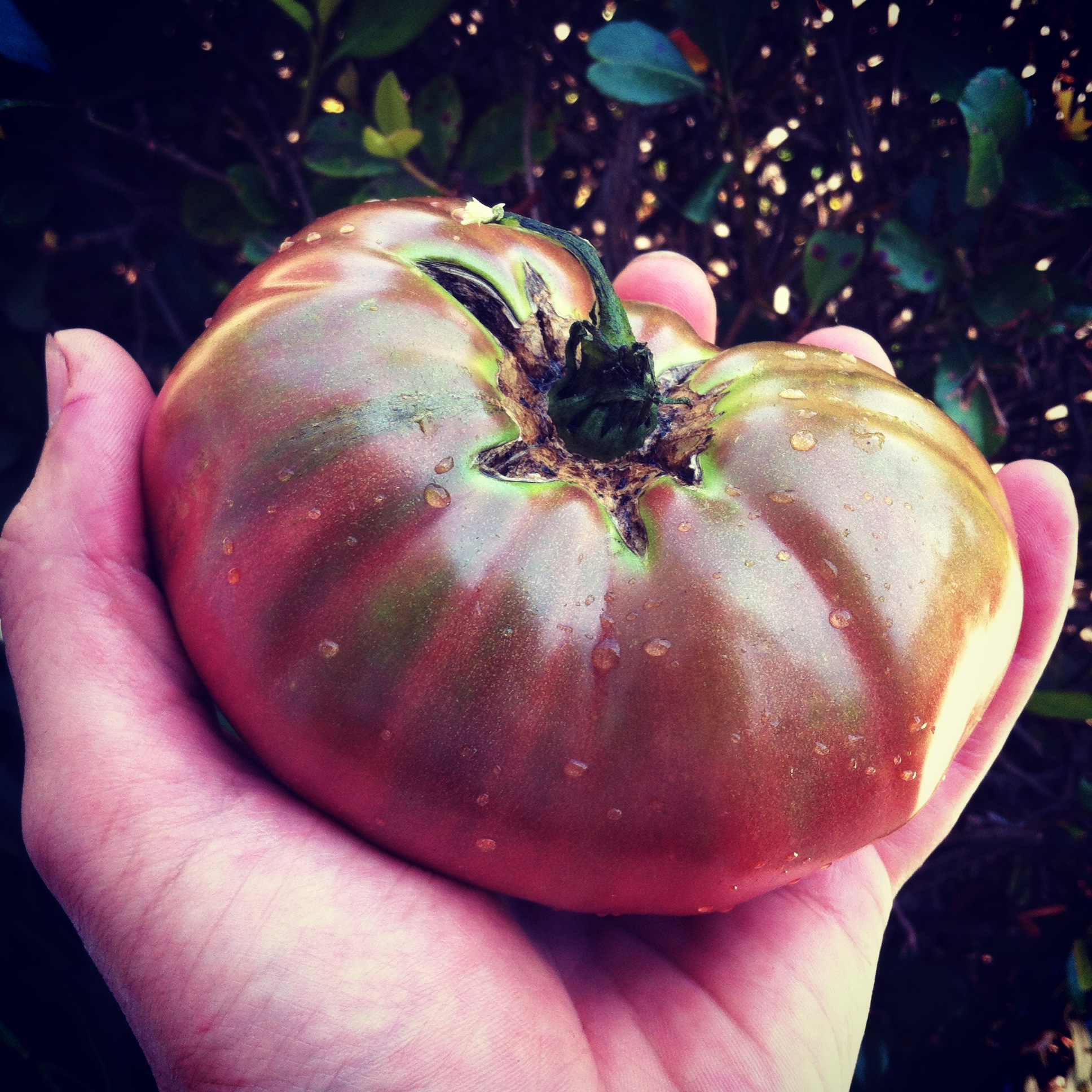 Mmm - fresh picked, organically grown heirloom tomato! 5 tomato growing tricks, article by GrowJourney