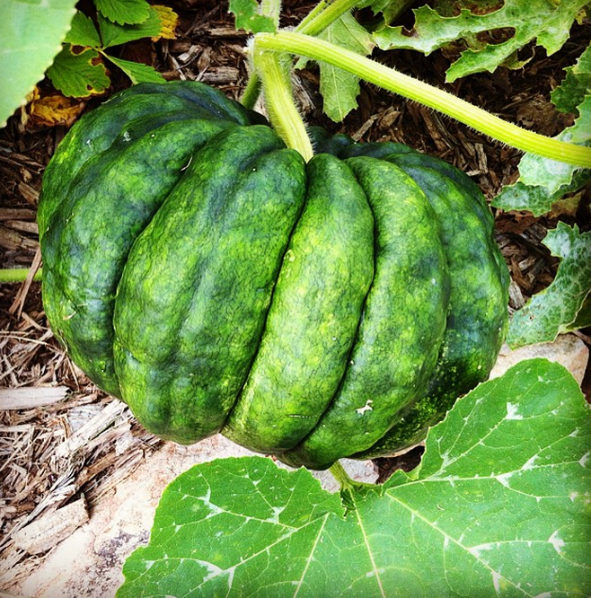 A homegrown black futsu pumpkin, a Japanese heirloom so sweet and nutty by itself, that it requires no sugar or spice when eaten.