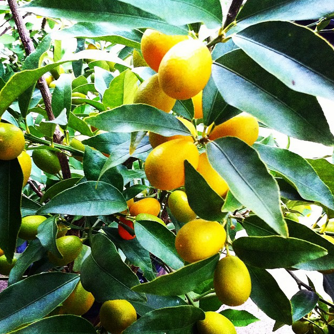 We love citrus and grow many varieties in pots that we put outdoors in the winter months, including kumquats (pictured), blood oranges, multiple varieties of meyer lemons, tangerines, calamondin orange and makrut lime.