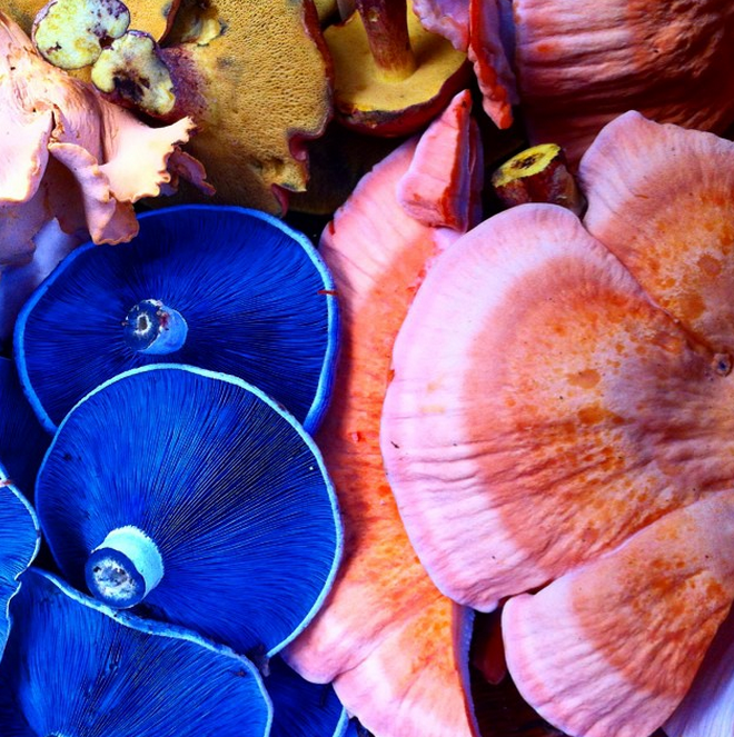 A mix of gourmet summer mushrooms: chicken of the woods, lactarius indigo, bicolor boletes and chanterelles.