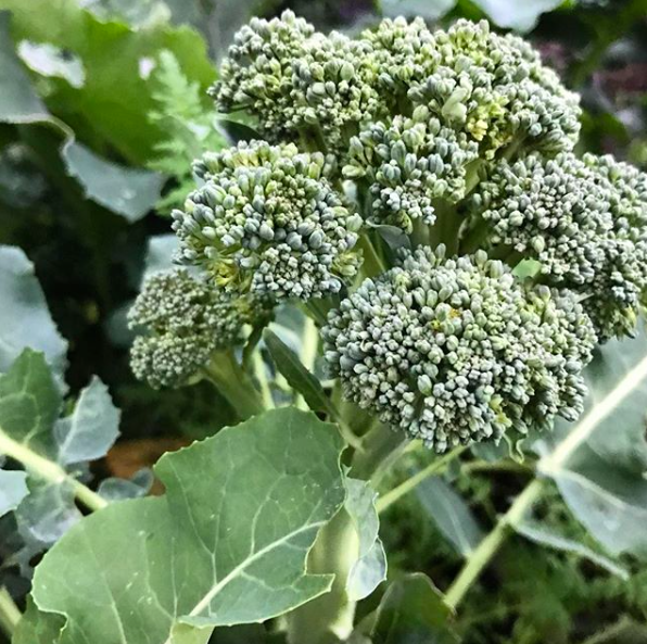 Hmm, which would you rather have with dinner: garden-fresh organic broccoli or turf grass?