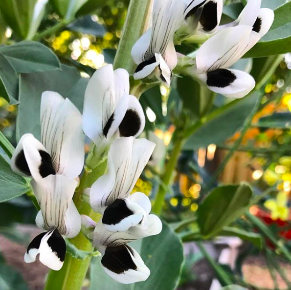 Gorgeous fava bean flowers. These plants are great for your soil, attractive to pollinators, and produce edible leaves, flowers, and beans.