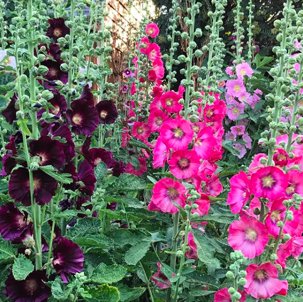 Even if you forgot where you planted your hollyhocks, it won't take you long to remember once they begin flowering.