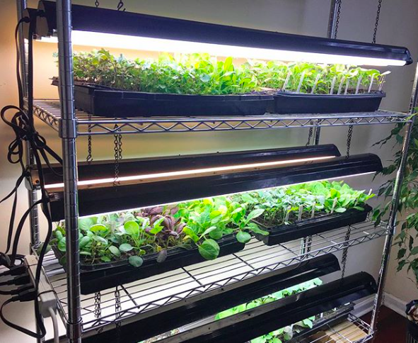 Our DIY indoor grow light system growing healthy seedlings for transplanting outdoors.