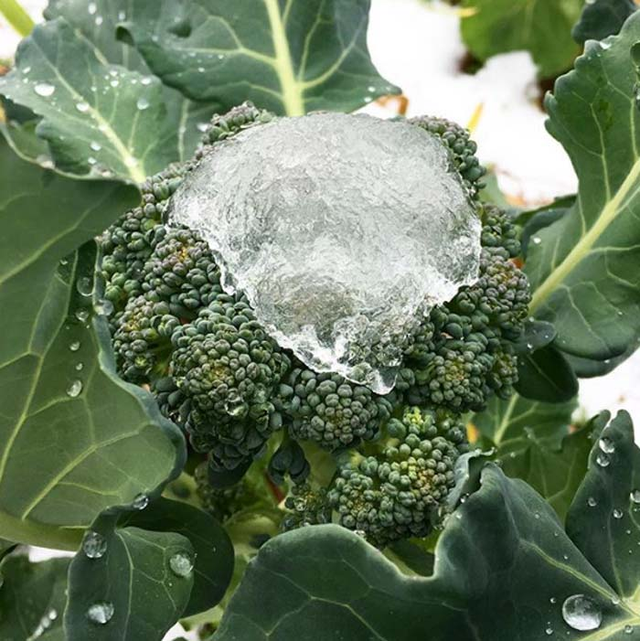 Broccoli floret under melting snow. | Easiest Garden Plants to Grow in the Fall and Winter by GrowJourney.com