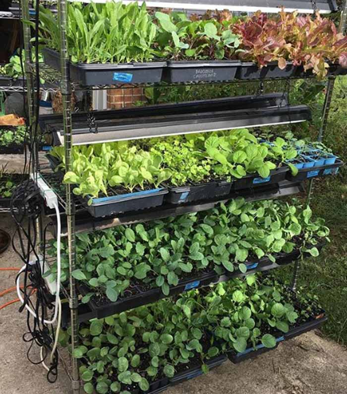 Another great tactic for improving your fall and winter garden yields is to start your own seedlings under an indoor grow light setup. Here you can see lots of fall and winter veggie seedlings we started under grow lights.