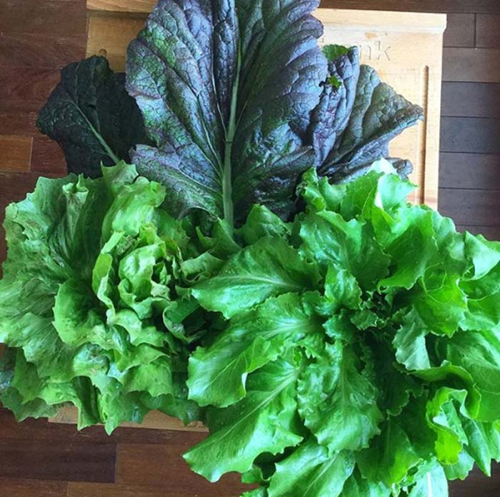 Mustard greens, lettuce, and chicory harvested on a freezing cold day. | Easiest Garden Plants to Grow in the Fall and Winter by GrowJourney