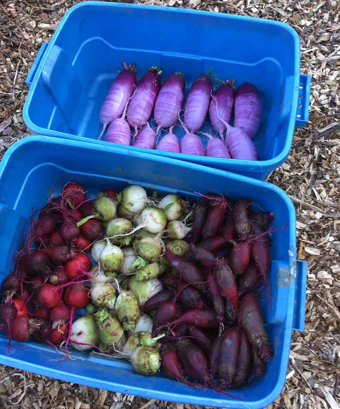 A beautiful assortment of cool weather root crops: radishes, beets, and turnips. Easiest Garden Plants to Grow in the Fall and Winter by GrowJourney