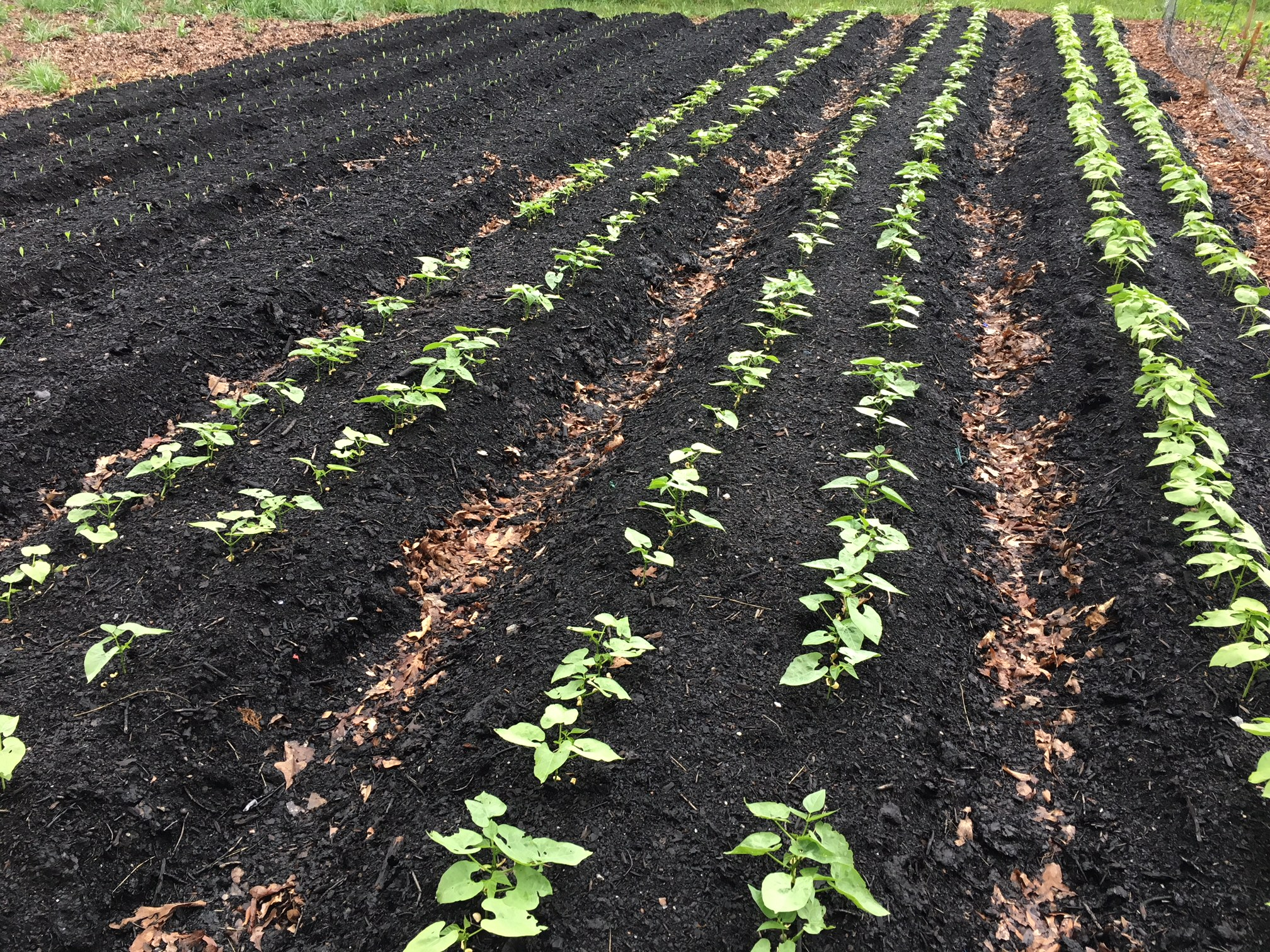 Newly installed rows and new seedlings (beans and corn) popping at Oak Hill Cafe in May. No-till organic gardening