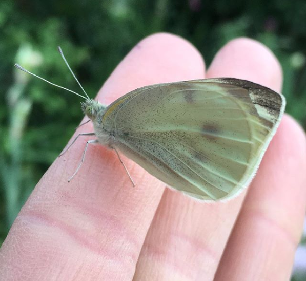 It's hard to believe that this beautiful cabbage white butterfly starts its life as a voracious pest that eats kale, cabbage, and other brassicas.