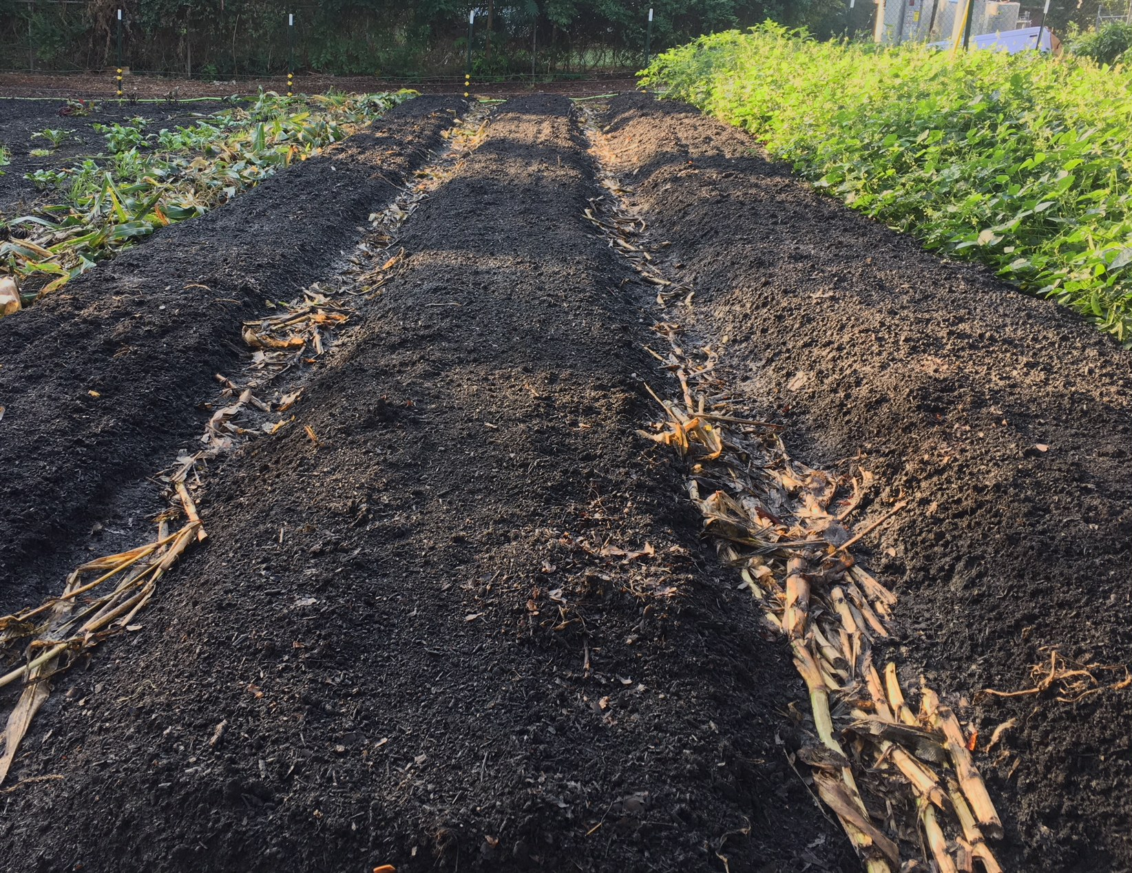 Corn beds cleared out and replanted with fall root crops. No-till organic gardening