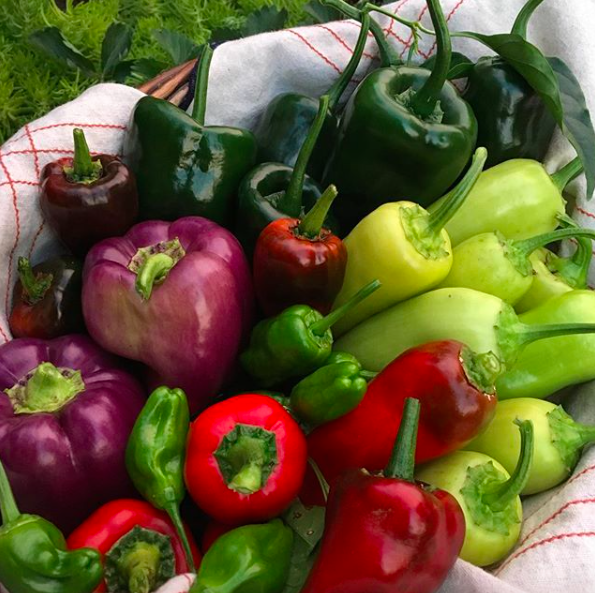 A beautiful harvest basket of mixed peppers. What can you do when you get baskets full of peppers from your garden all at once? / 6 Creative Ways to Use Lots of Peppers by GrowJourney.com