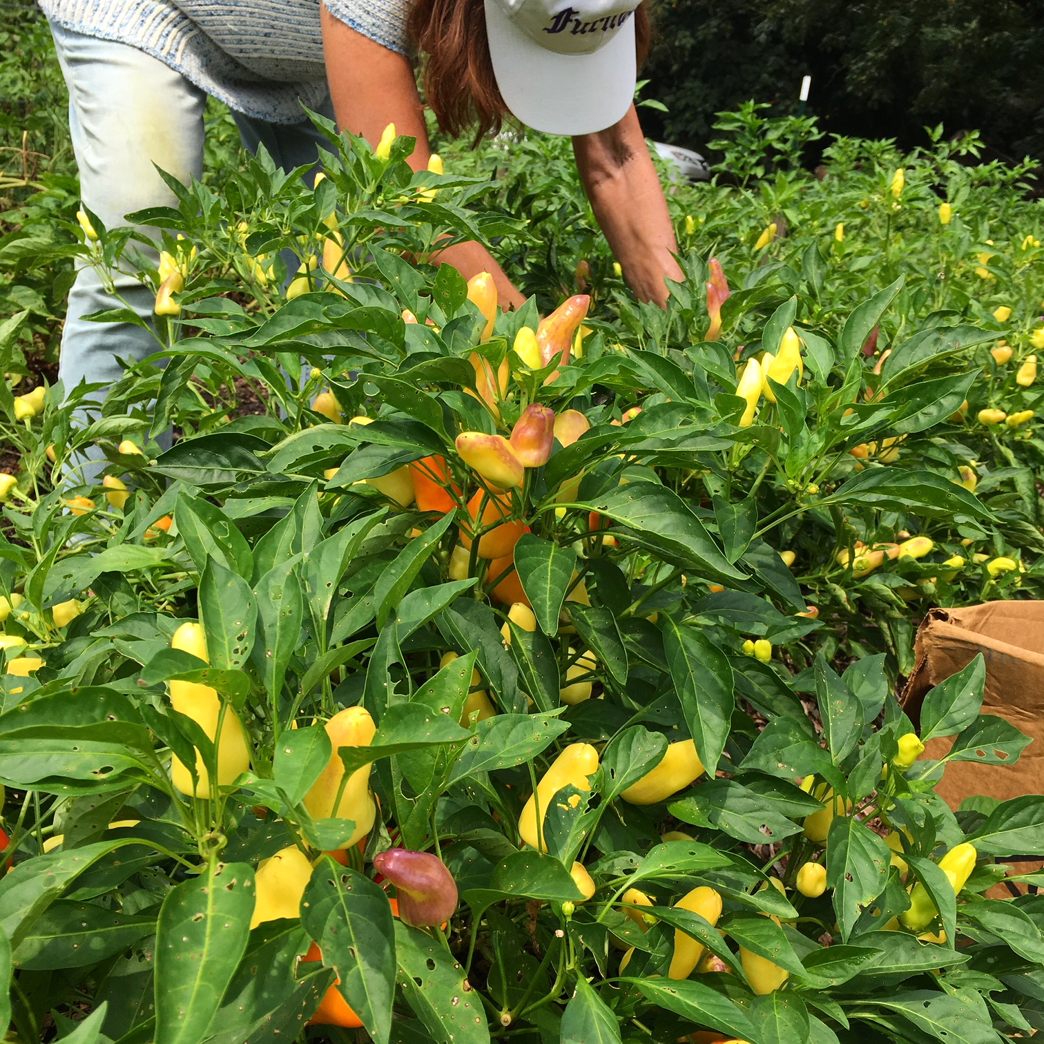 My mom picking Sweet Pickle Peppers out at Oak Hill Cafe & Farm in Greenville, SC. This is a great variety of pickling pepper that produces loads of colorful fruit. Yes, Sweet Pickling Peppers taste great raw or cooked too! / Ways to use lots of peppers, article by GrowJourney.com