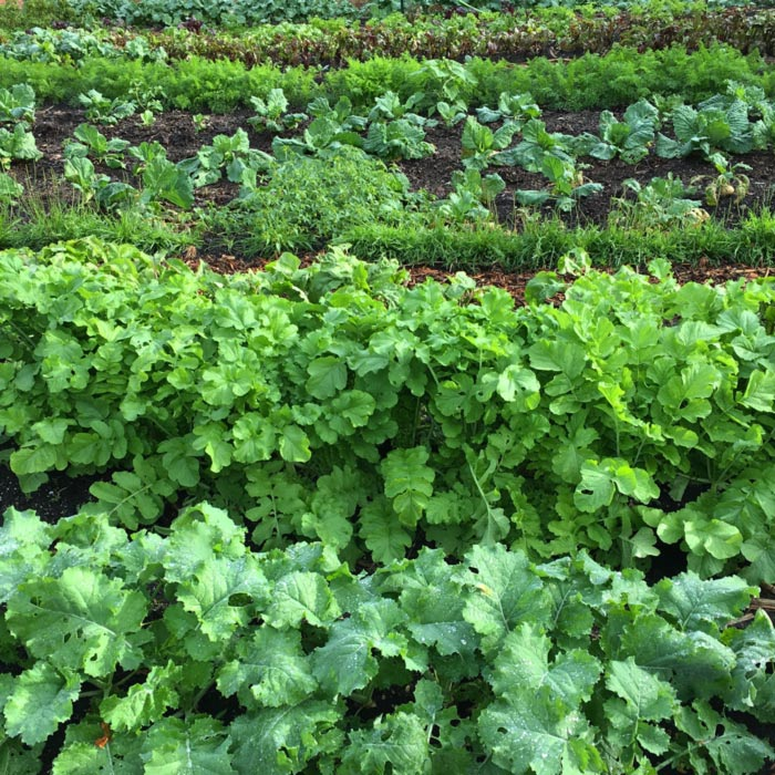 Healthy, happy winter roots & greens growing out at the Oak Hill Farm property.