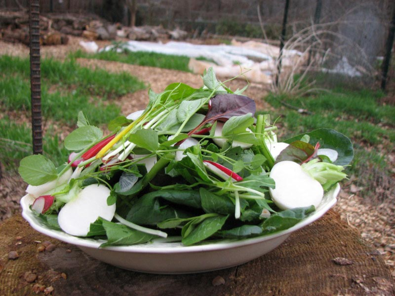 There's nothing like picking your own salad in January. Shown here are radishes, sweet salad turnips, spinach, Swiss chard, lettuce, mizuna, and shoots from Austrian winter peas.