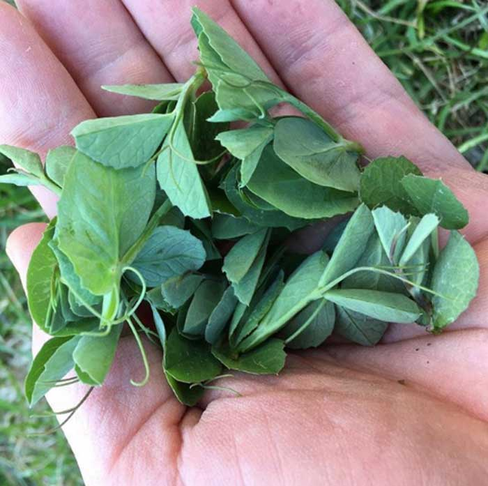 A delicious handful of Austrian winter pea shoots harvested in the winter.