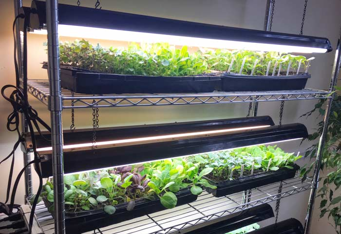Cool weather seedlings growing under our DIY grow light system. These will be transplanted outdoors in late summer for the fall garden.