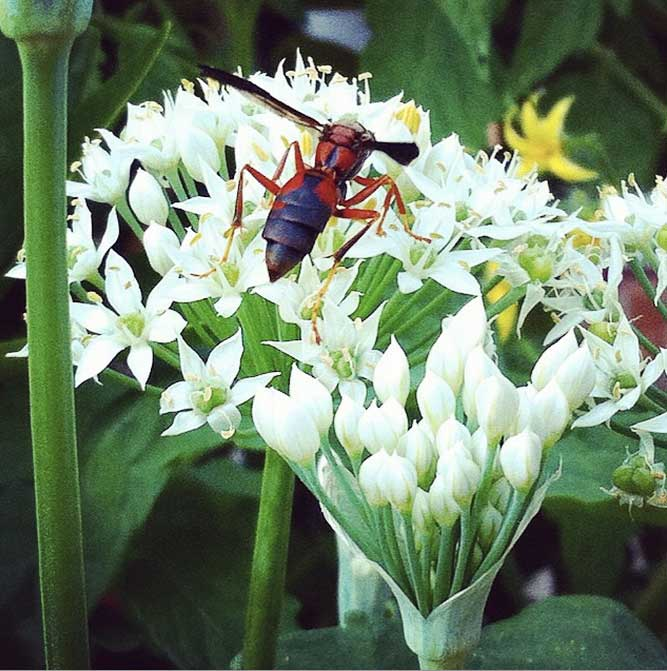 A paper wasp foraging pollen on our chive plants. Paper wasps are wonderful pollinators and hunters; having insects that serve both roles are essential for a healthy organic garden or farm. Like other beneficial insects, wasps are easily killed by insecticides. Conventional seeds versus organic seeds by GrowJourney.