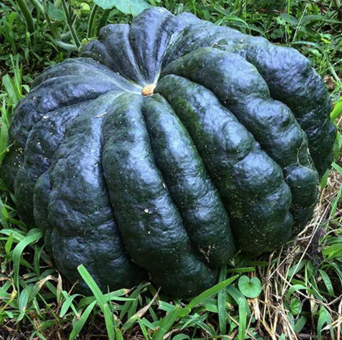 Our favorite pumpkin is the 'Black Futsu,' a Japanese heirloom. It's a relatively small pumpkin, but the flavor is divine. It's so sweet and nutty by itself that we usually don't even add sugar to it when making it into pies and puddings. Pumpkin facts by Tyrant Farms.