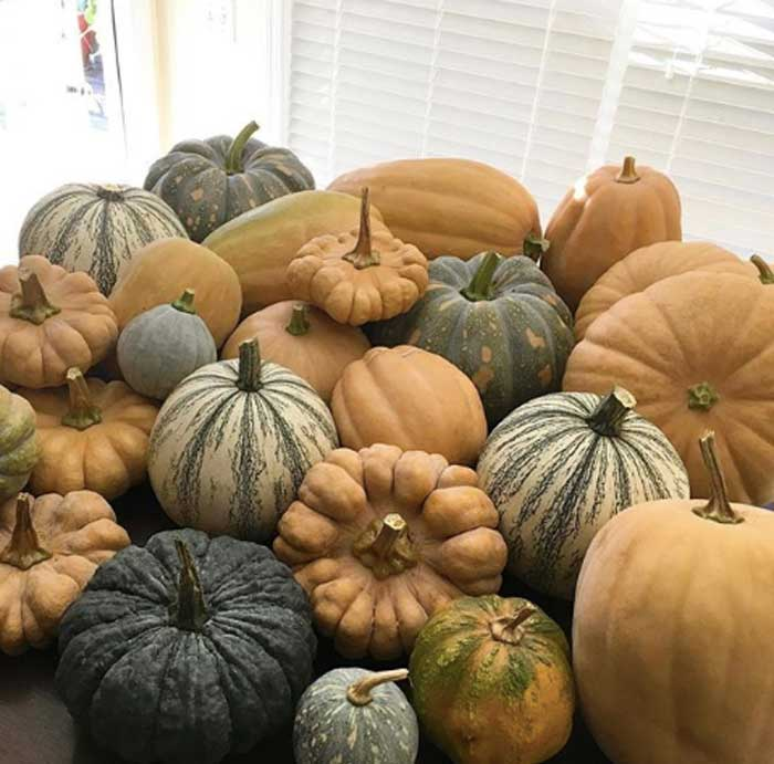 Pumpkins and winter squash come in all shapes, sizes, colors, and flavors. We know where these came from because they all grew within 100 feet of our house. -Pumpkin facts by GrowJourney