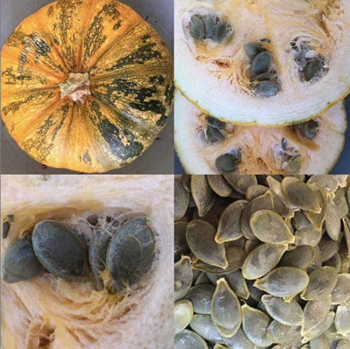 Styrian pumpkins were bred in Austria, and produce excellent pumpkin seeds.