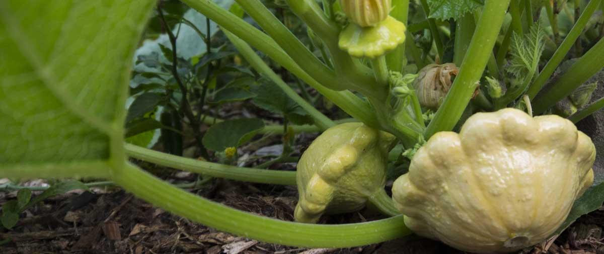 祖传南瓜生长在重覆,免耕的有机花园床上。