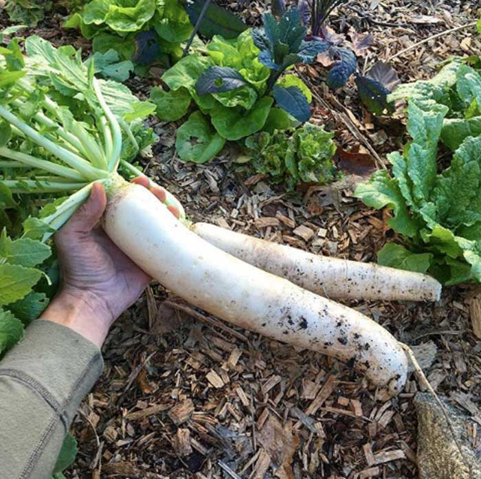 A multi-functional daikon radish. The roots make wonderful veggies, as do the edible greens, flowers, and young seed pods. They're also a valued cover crop used to improve soil quality. Leave them in the ground to rot in the spring rather than harvesting them to break up clay soil and/or add lots of soil fertility for your spring/summer crops.