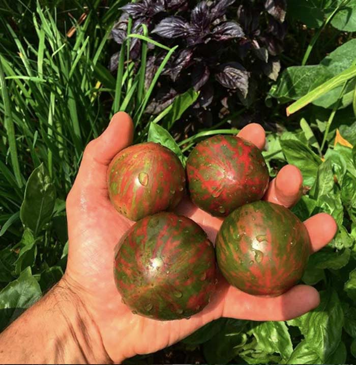 Fresh-picked and stunningly beautiful 'Pink boar' tomatoes from our back porch taste as good as they look. How to grow potted tomatoes by GrowJourney