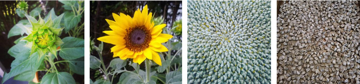 Timeline of a sunflower growing in Valerie Benko's garden, from bud to final seed harvest.
