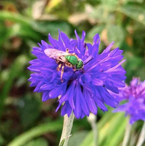 A green bee (Agapostemon splendens) foraging bachelor buttons. Bachelor buttons are an excellent edible flower.