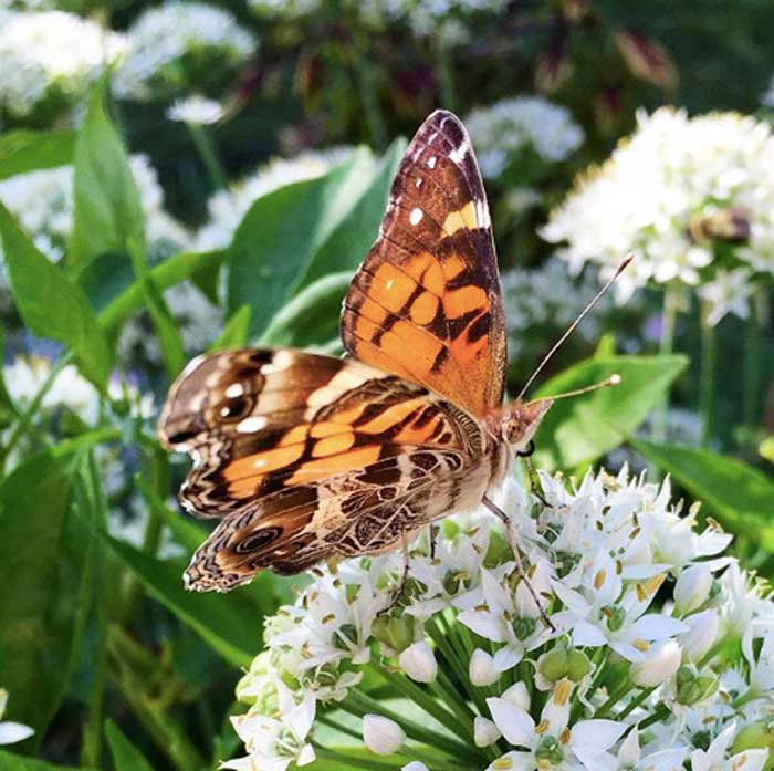 An American lady butterfly (Vanessa virginiensis) foraging garlic chive flowers. Pesticides take an enormous toll on beneficial insects (pollinators and predators).